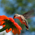 The Hummingbird Capital of America